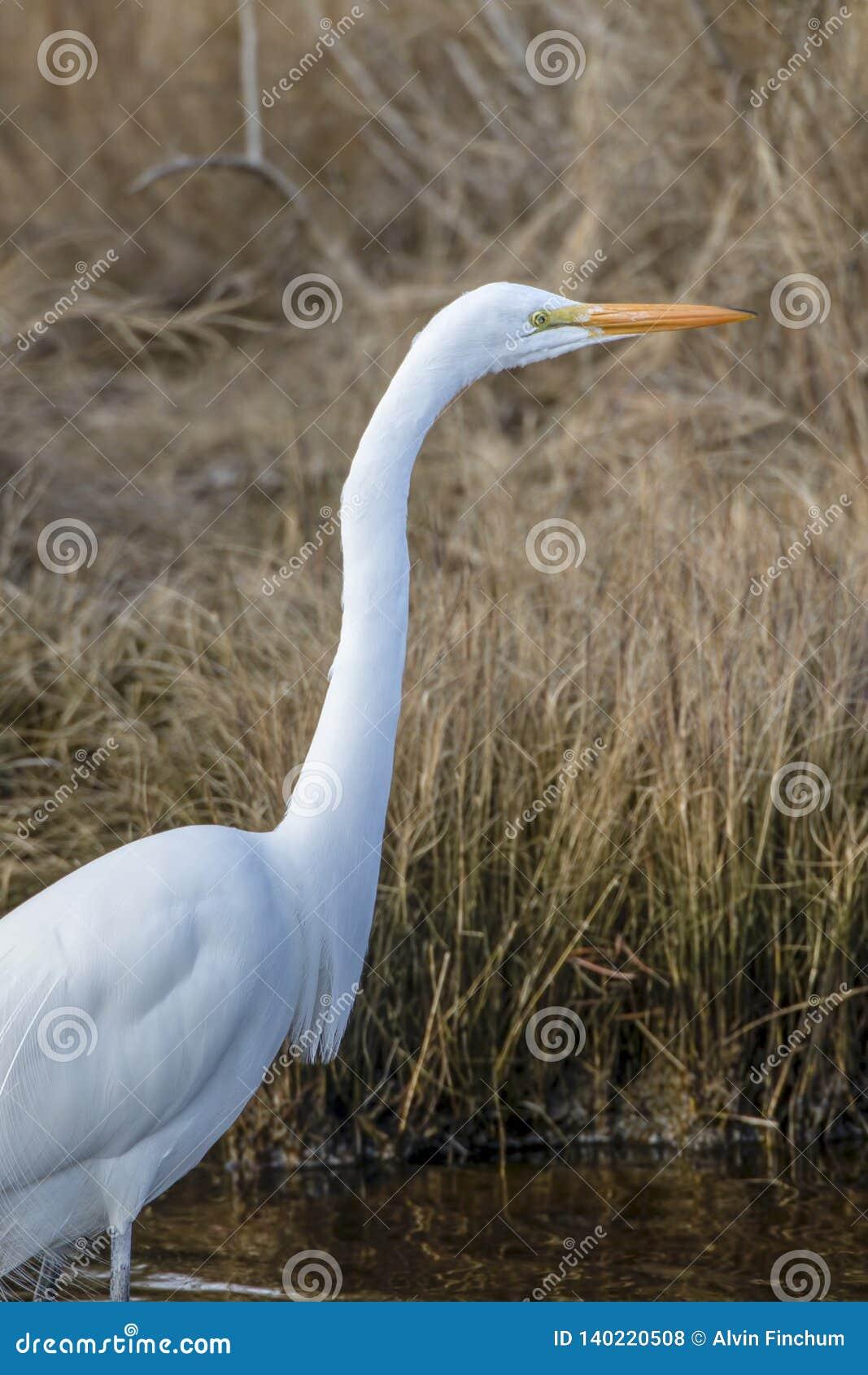 Grande egret, Ardea alba, caçando para peixes pequenos