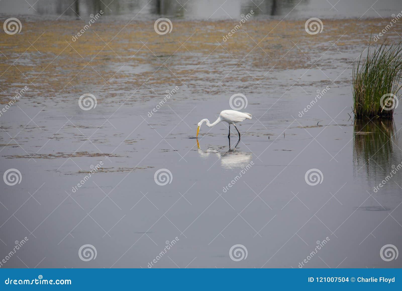 Grande Egret que alimenta na água pouco profunda