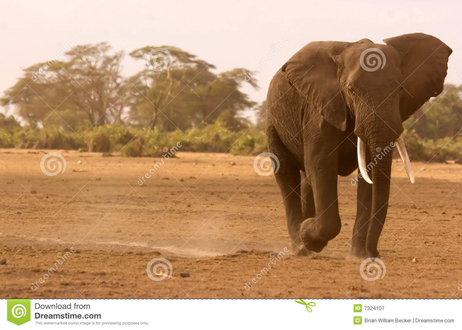 Grande elefante in Amboseli