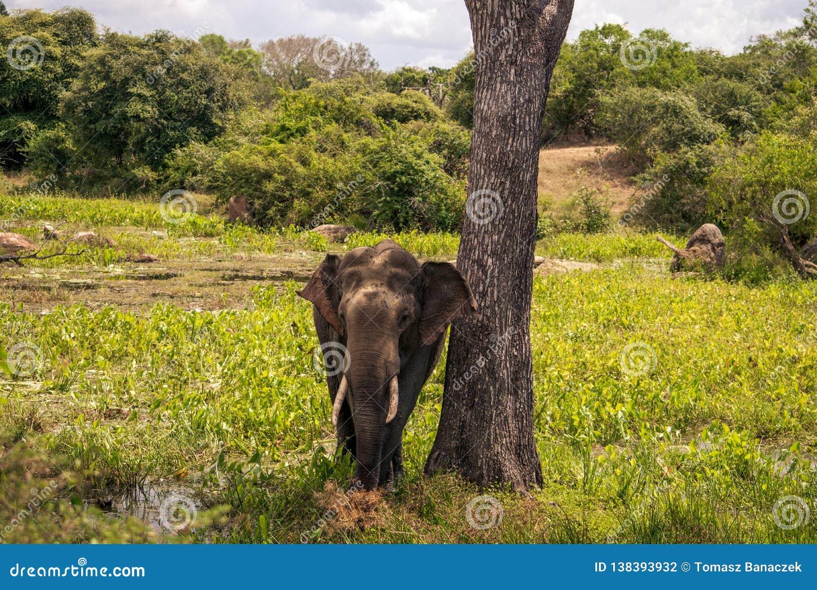Grande elefante nel safari di Yala, Sri Lanka