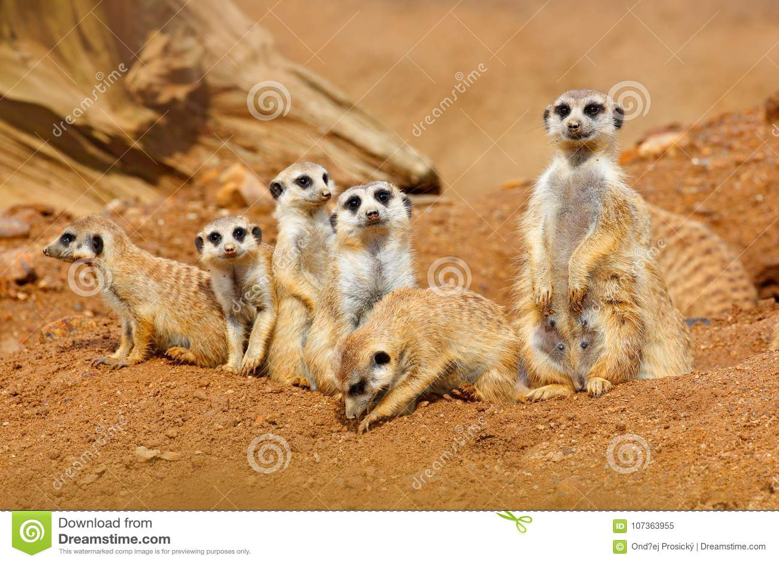 Grande famiglia animale Immagine divertente dalla natura dell Africa Meerkat sveglio, suricatta del Suricata, sedentesi sulla pie
