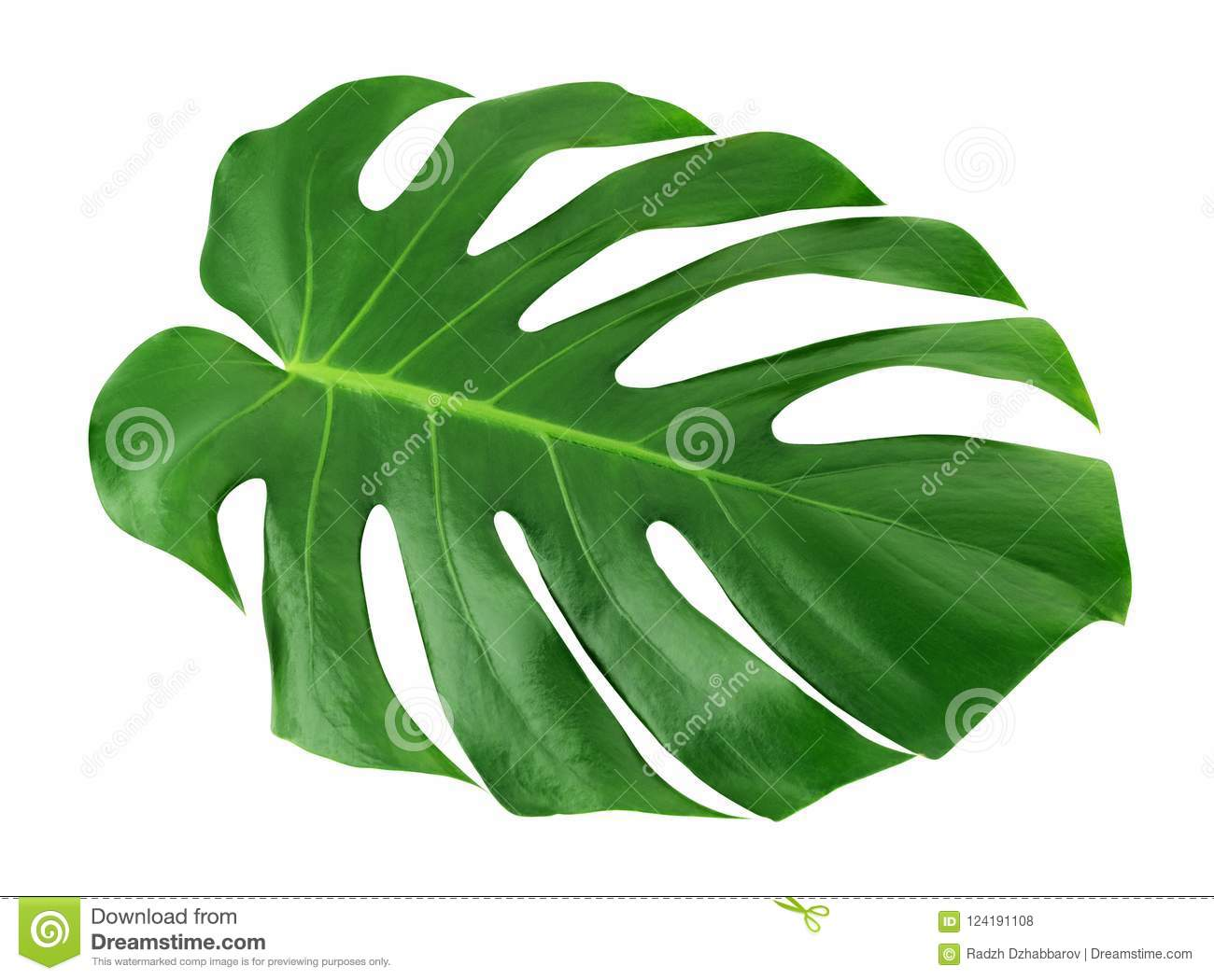 Grande feuille de Monstera d isolement Fond blanc de jungle de feuille de modèle tropical unique vert de conception, avec le chem