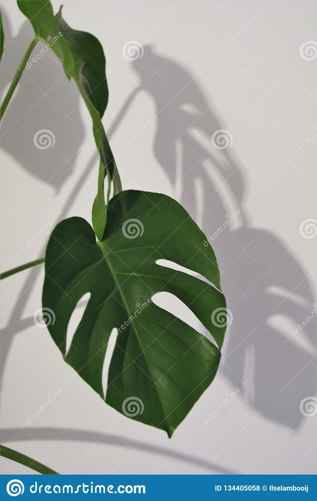 Plante D Intérieur Tendance grande feuille sur une plante d'intérieur verte photo stock