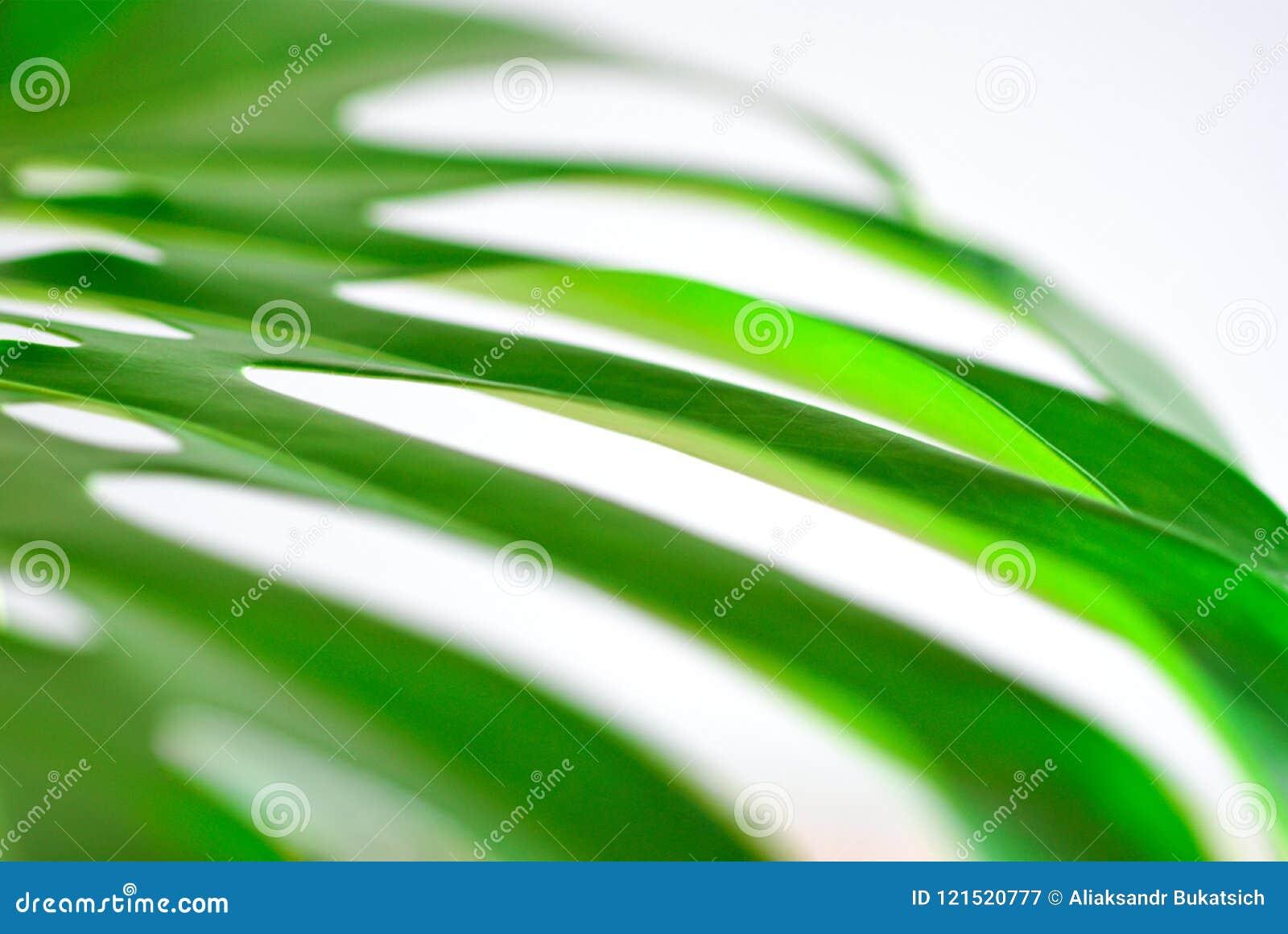 Grande feuille verte d un plan rapproché de plante tropicale