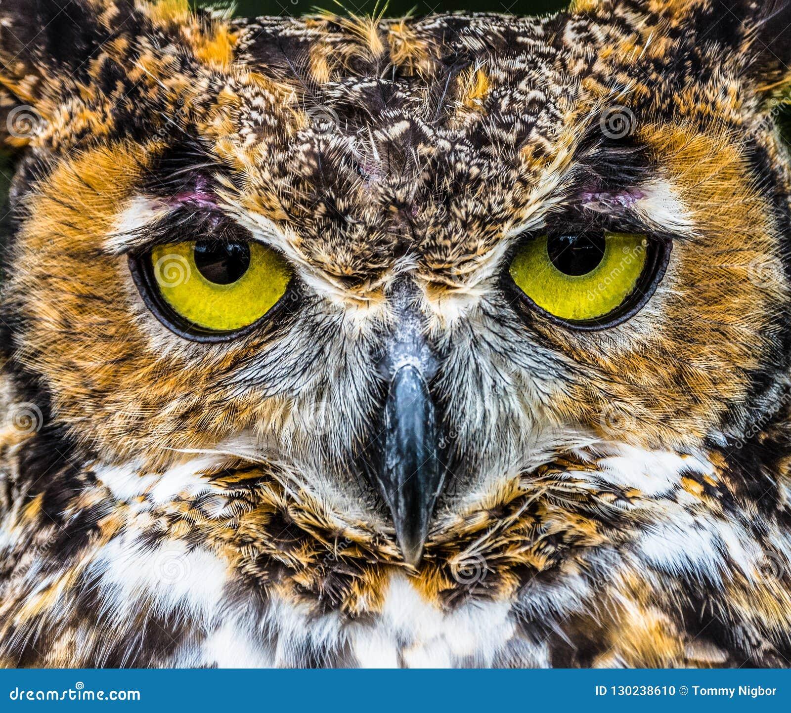 Grande fim da coruja Horned acima dos olhos amarelos brilhantes