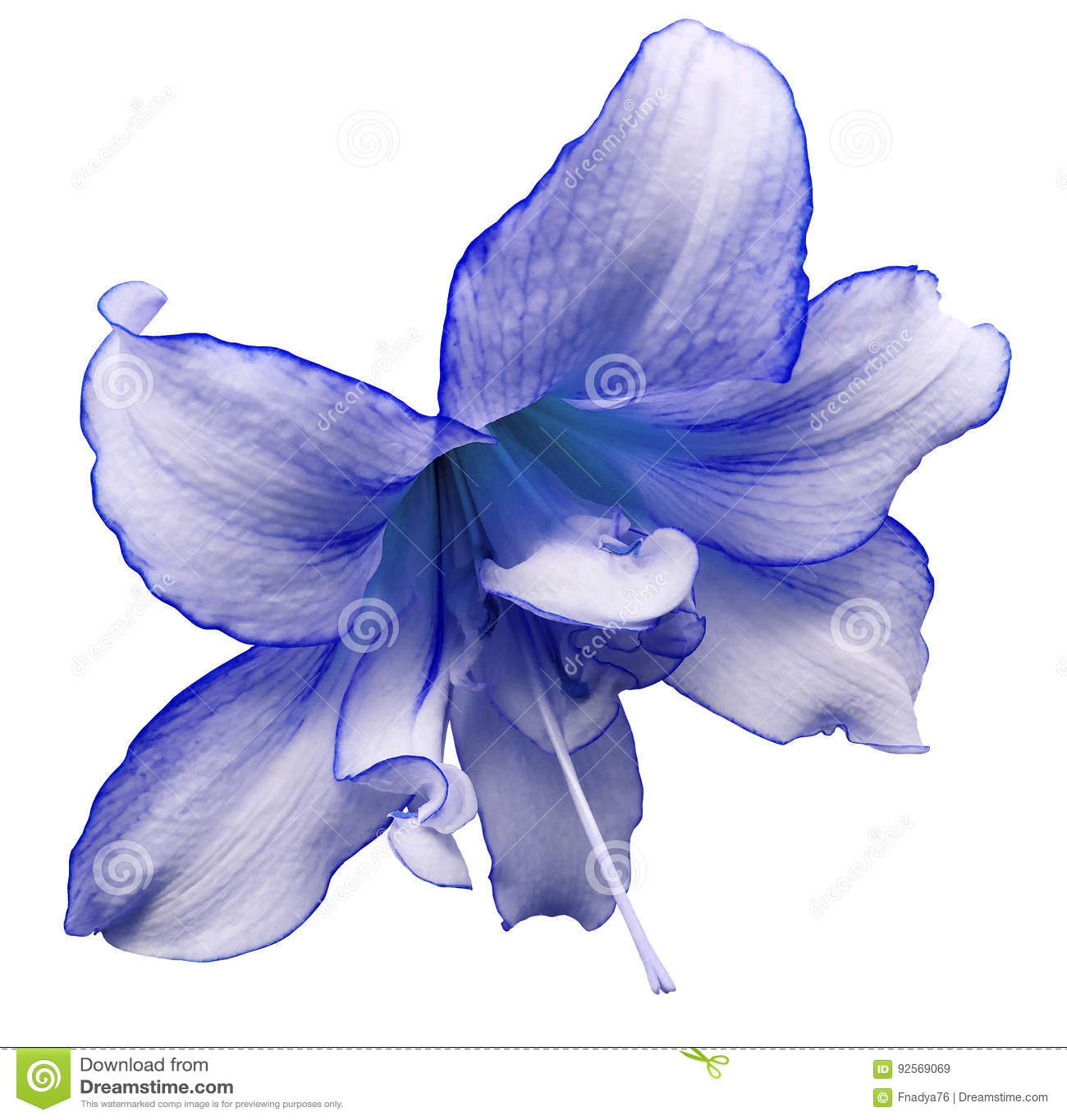 Grande fiore Bianco-blu Fondo isolato bianco con il percorso di ritaglio closeup Nessun ombre Per il disegno