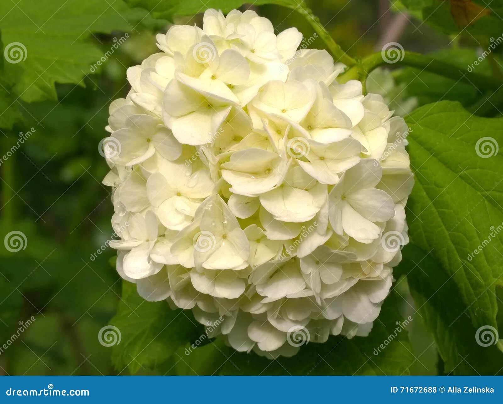 Grande Fiore Bianco In Un Giardino Della Molla Fotografia Stock