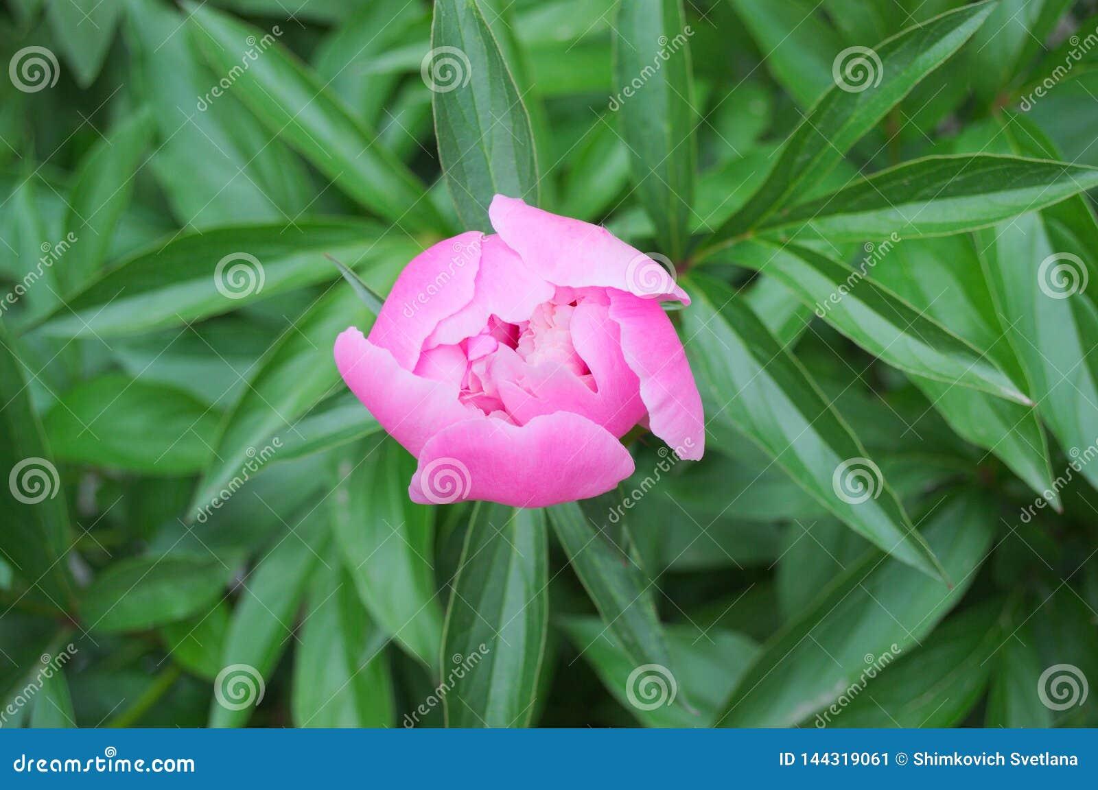 Grande fiore della peonia con i petali rosa