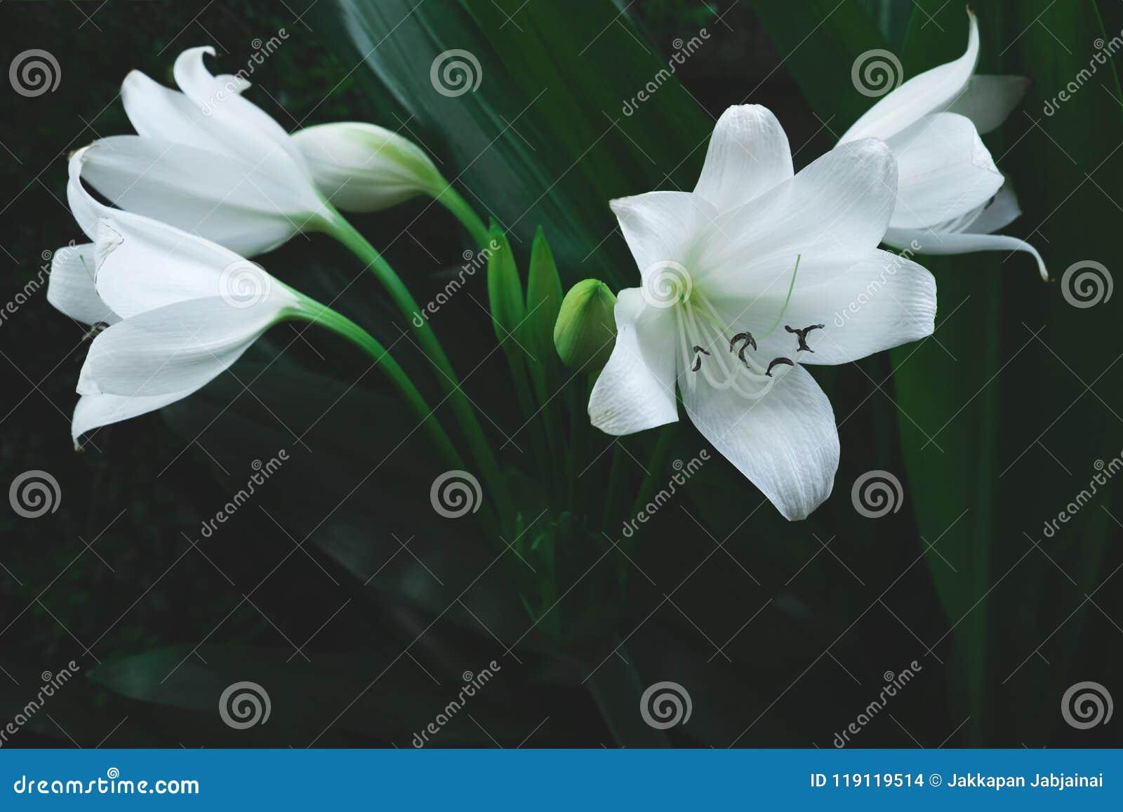 Grande Fleur Blanche De Plante Tropicale Photo Stock Image Du