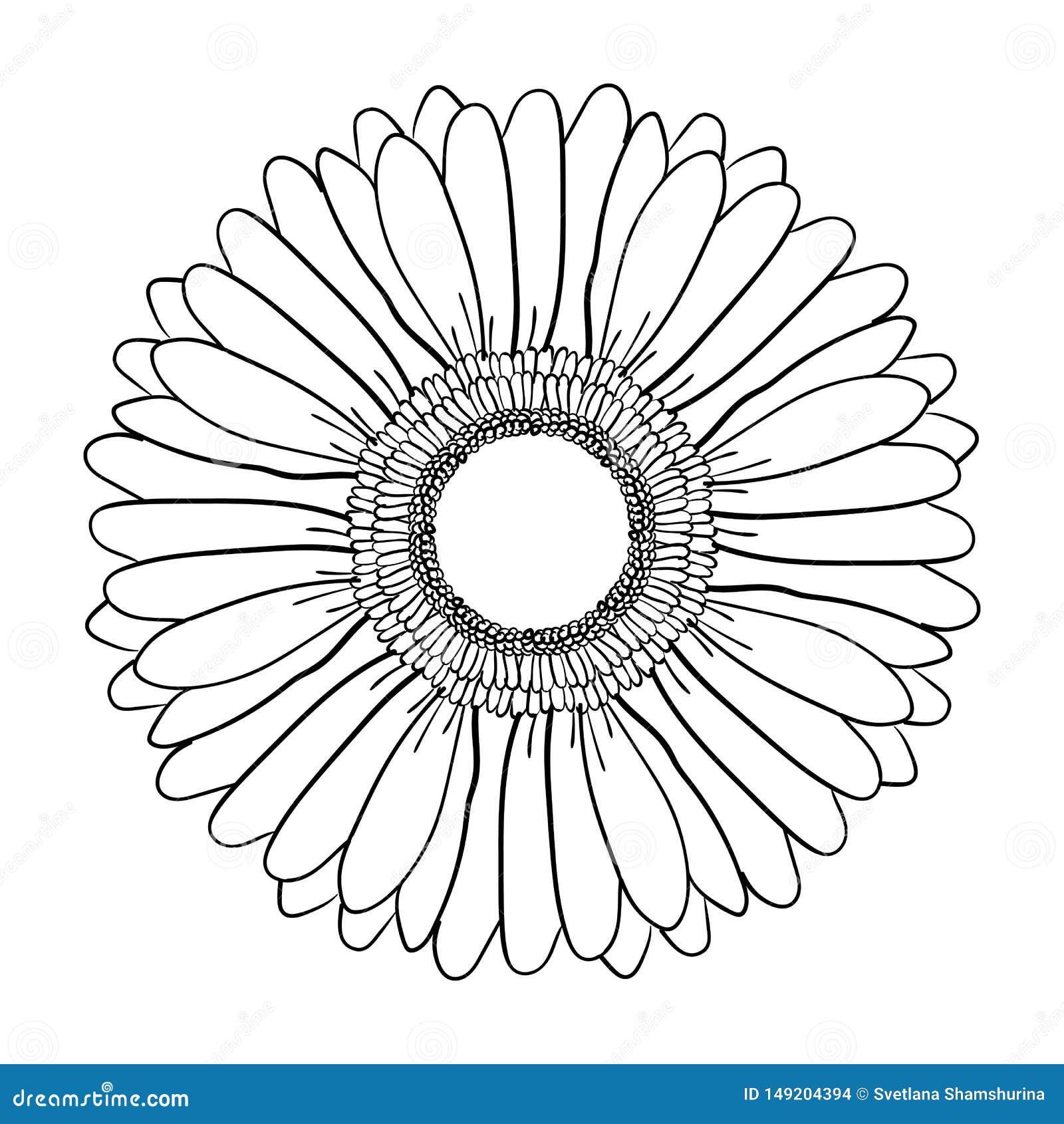 Grande fleur de floraison de Gerbera Vecteur tir? par la main d illustration Croquis tiré par la main noir et blanc réaliste d im