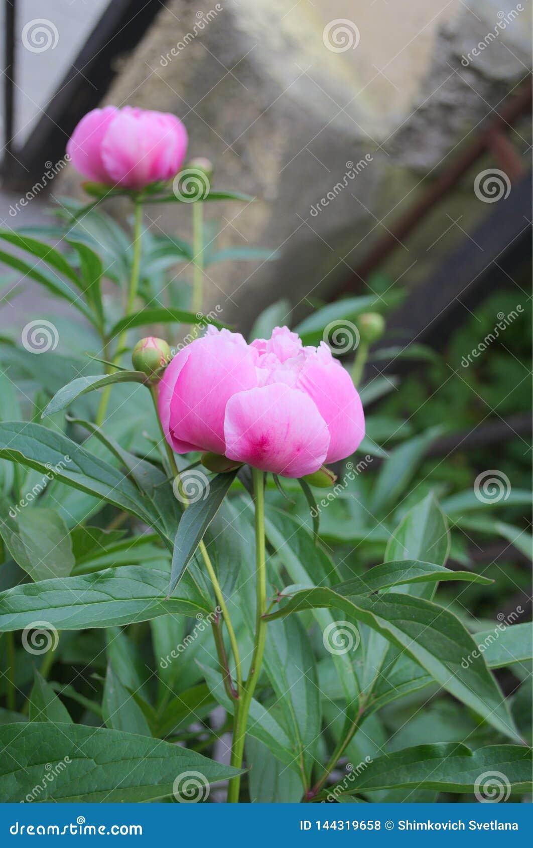 Grande fleur de pivoine avec les pétales roses