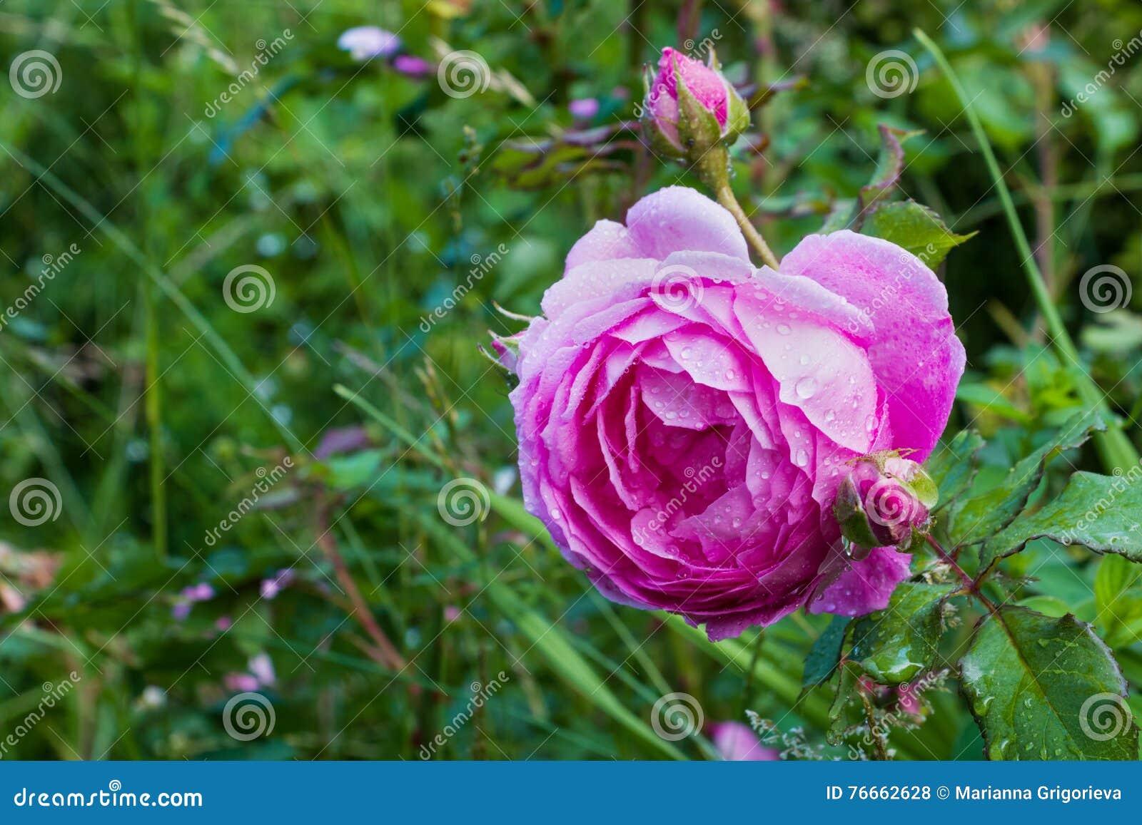 grande fleur de rose de rose avec des gouttes de pluie dans le