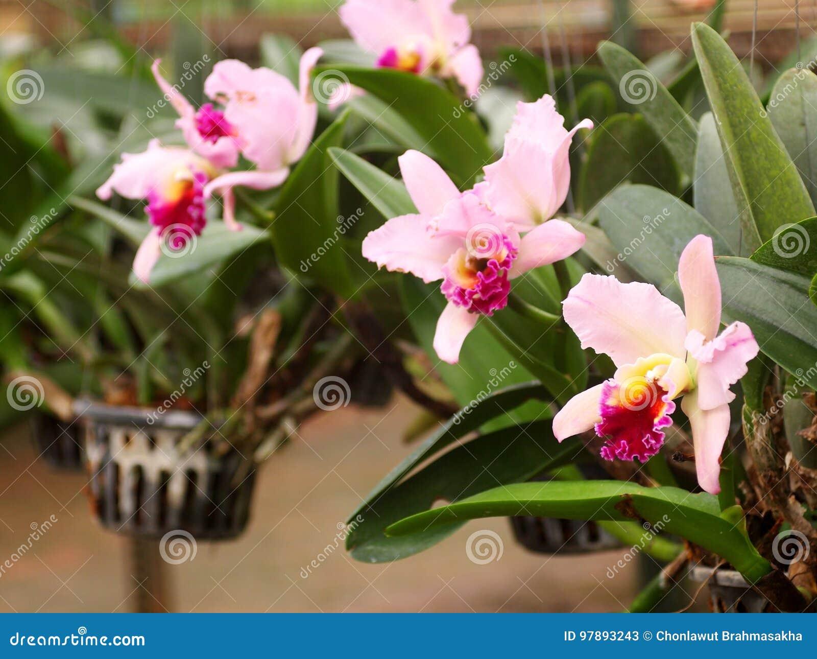 Grande fleur pourpre rose molle colorée d orchidée dans la grande usine de ferme, pépinière d usine
