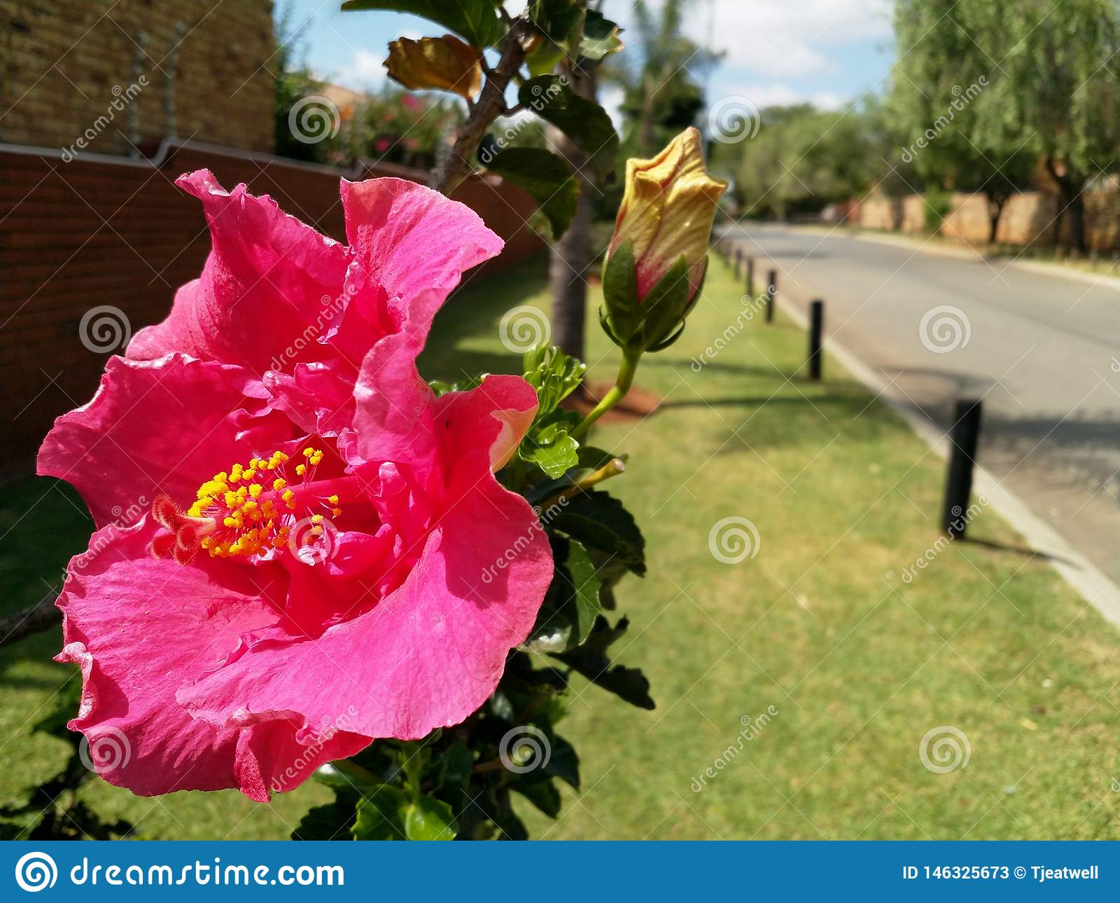 Grande flor cor-de-rosa do hibiscus no ver?o