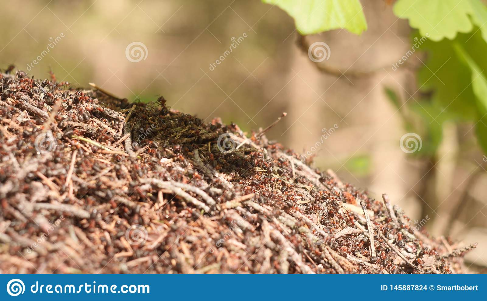 Grande fourmili?re avec la colonie des fourmis rouges sous la branche de ch?ne dans la for?t de soleil d ?t? sur le fond dans le