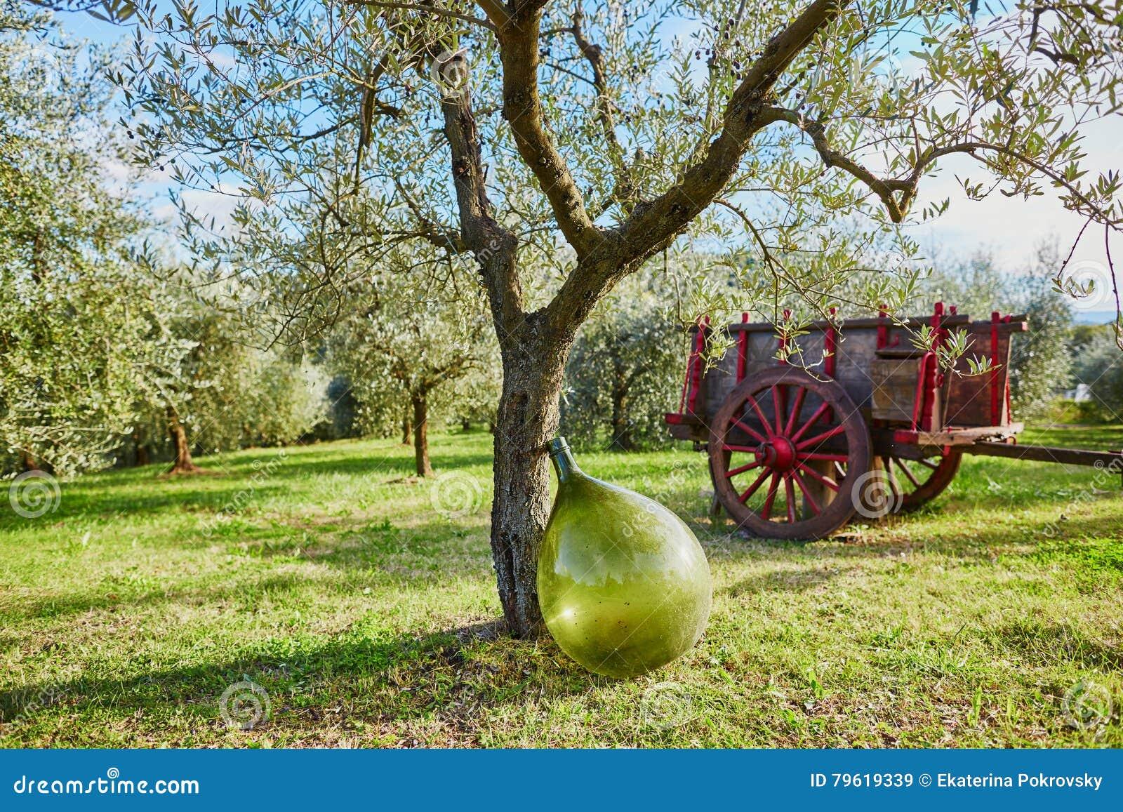 Grande garrafa verde do óleo ou de vinho perto da oliveira em uma exploração agrícola de Tuscan