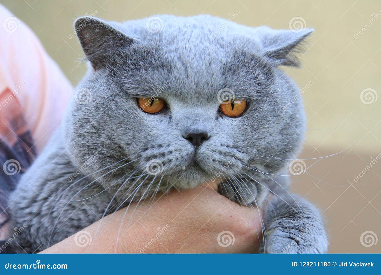 Grande gatto britannico