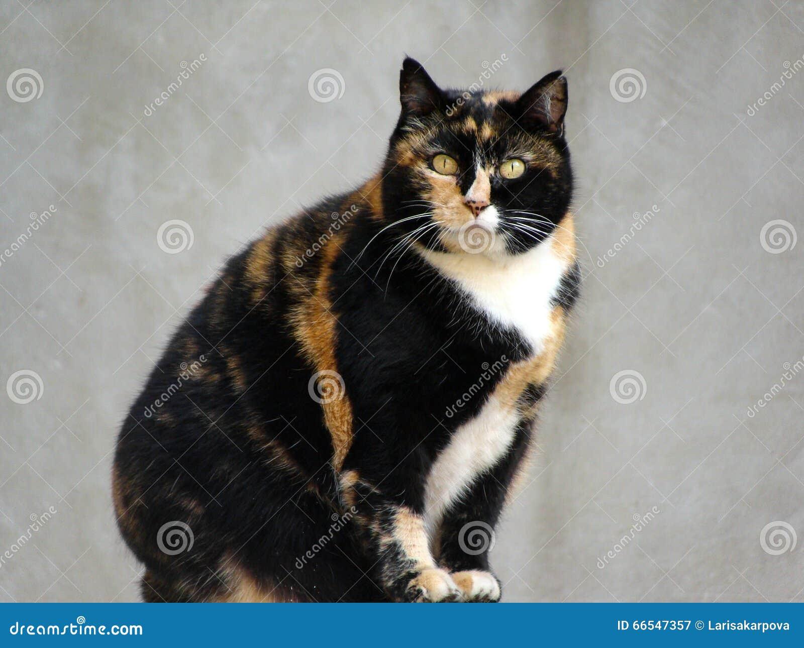 Grande Gatto Nero E Rosso Lanuginoso Della Razza Siberiana Immagine