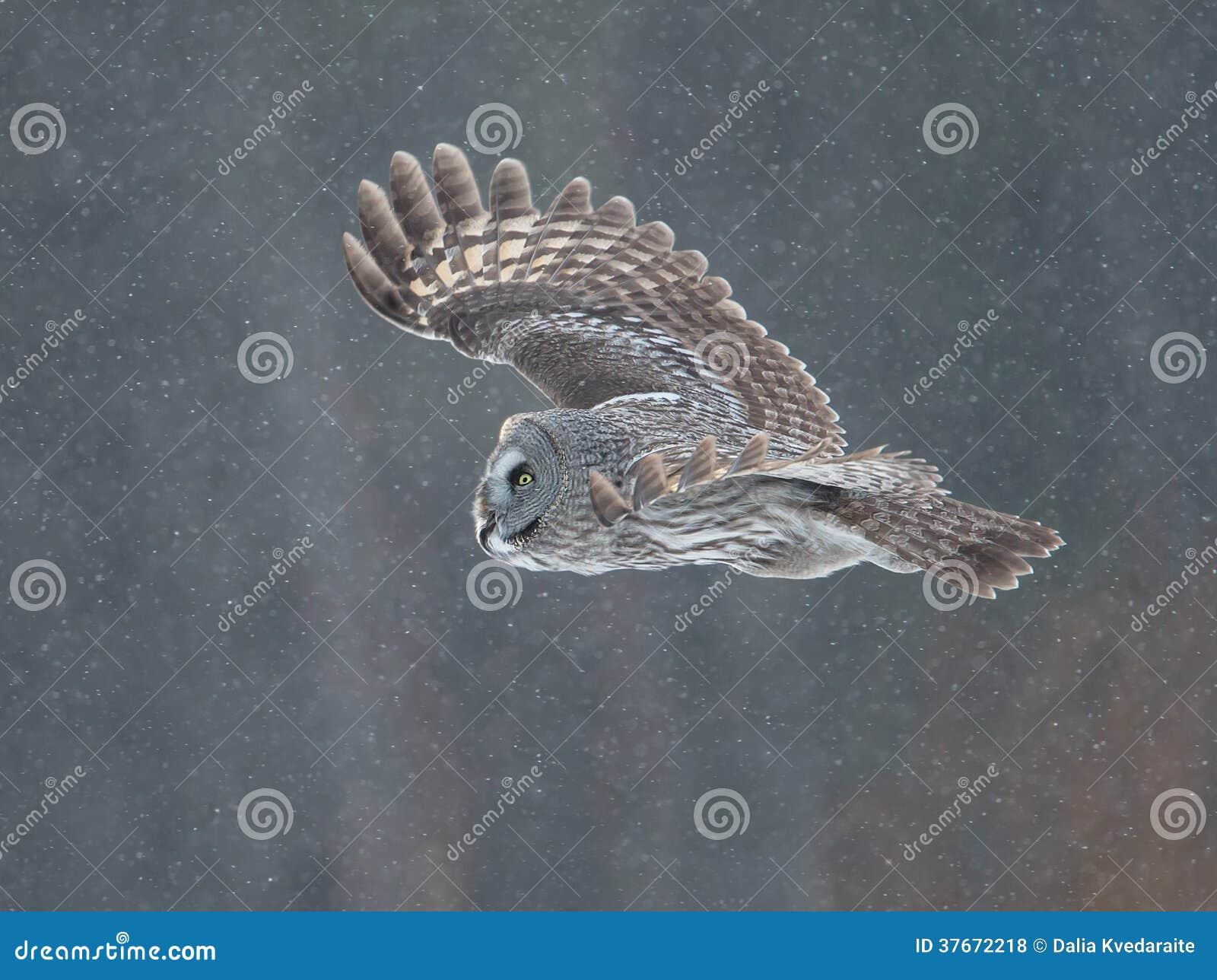 Grande Grey Owl (nebulosa dello strige)