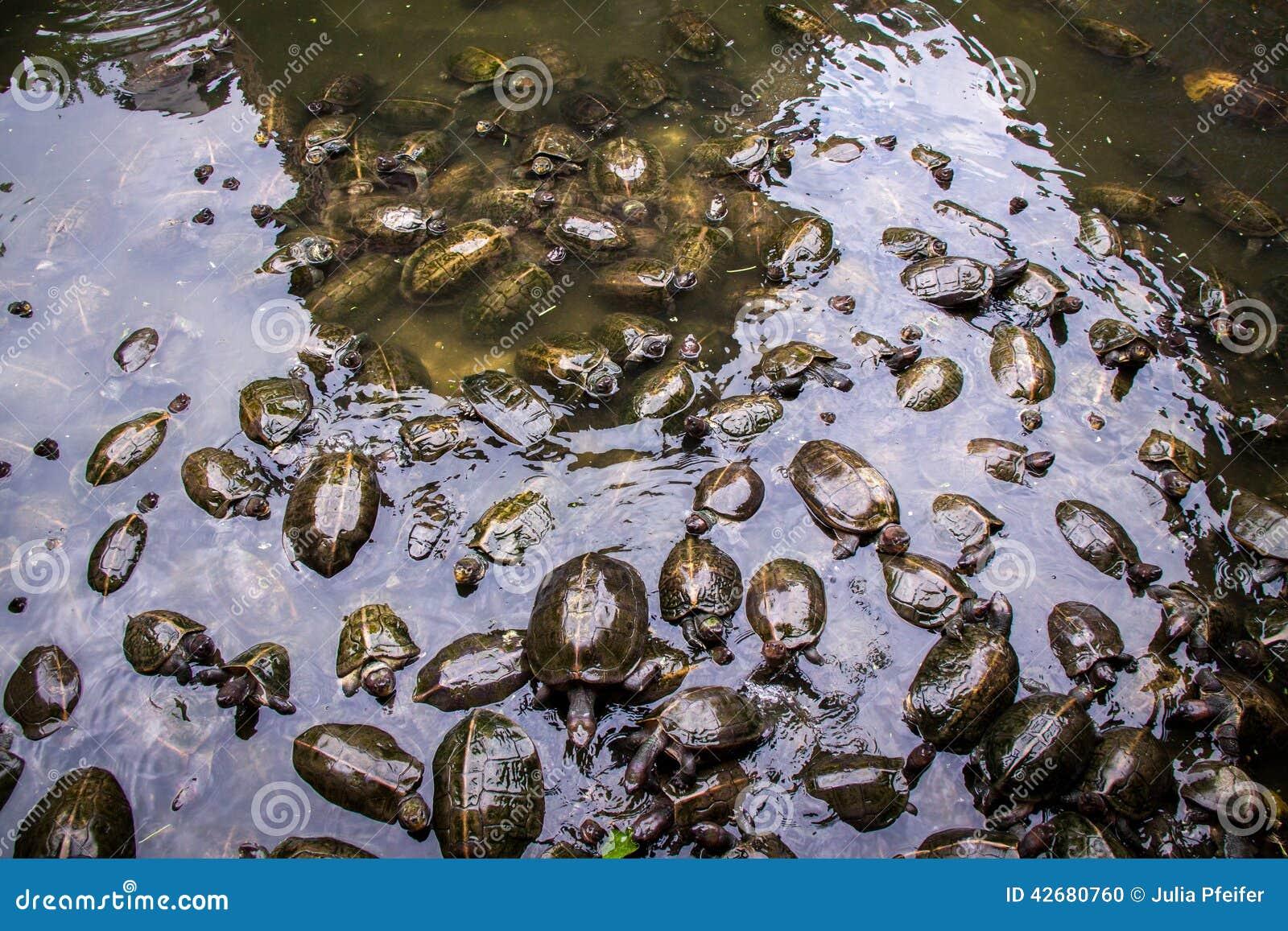 Grande gruppo di tartarughe d 39 acqua dolce in uno stagno for Stagno per tartarughe