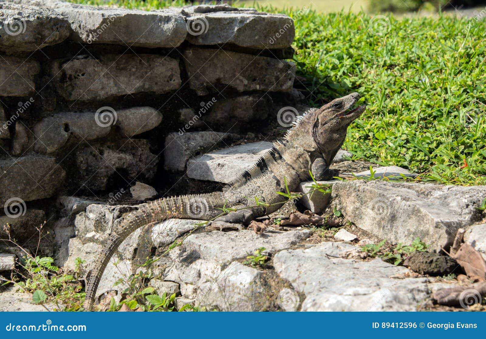 Grande iguana verde com a cauda longa que expõe-se ao sol em ruínas de Tulum em México
