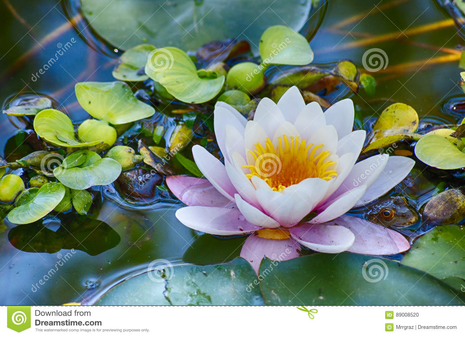 Grande lilly sullo stagno