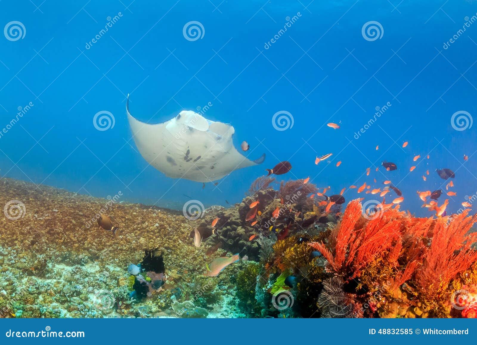 Grande Manta Ray em Coral Reef