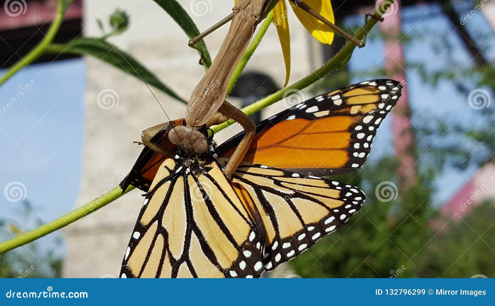 Grande mante de prière bronzage et verte mangeant un papillon de monarque Ca