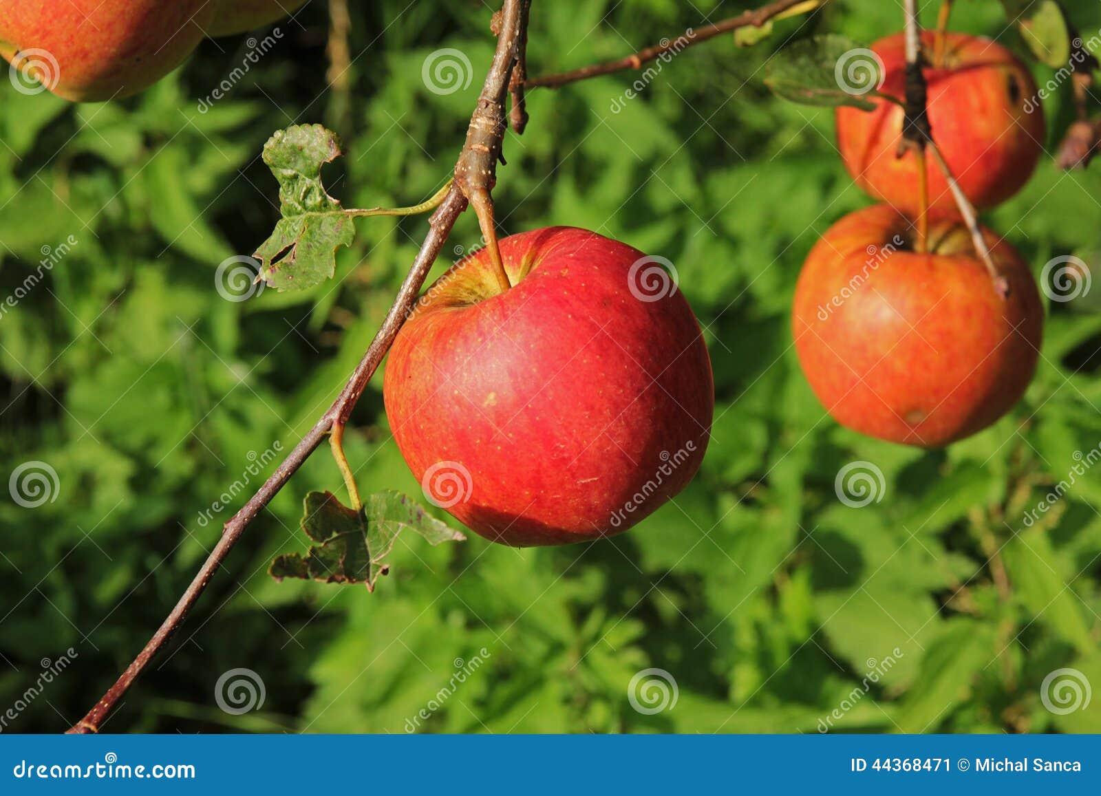 Grande mela rossa