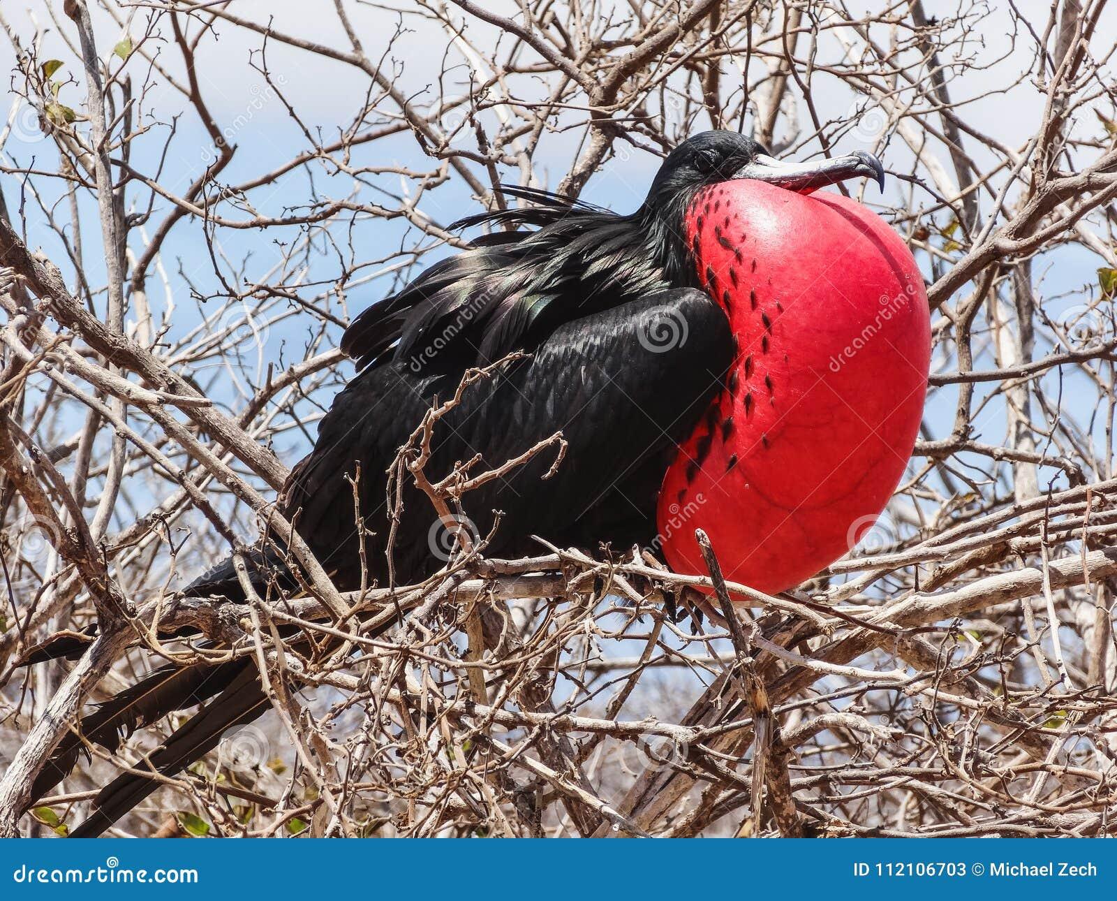 Grande menor do fregata do frigatebird na ilha Galápagos do genovesa nat