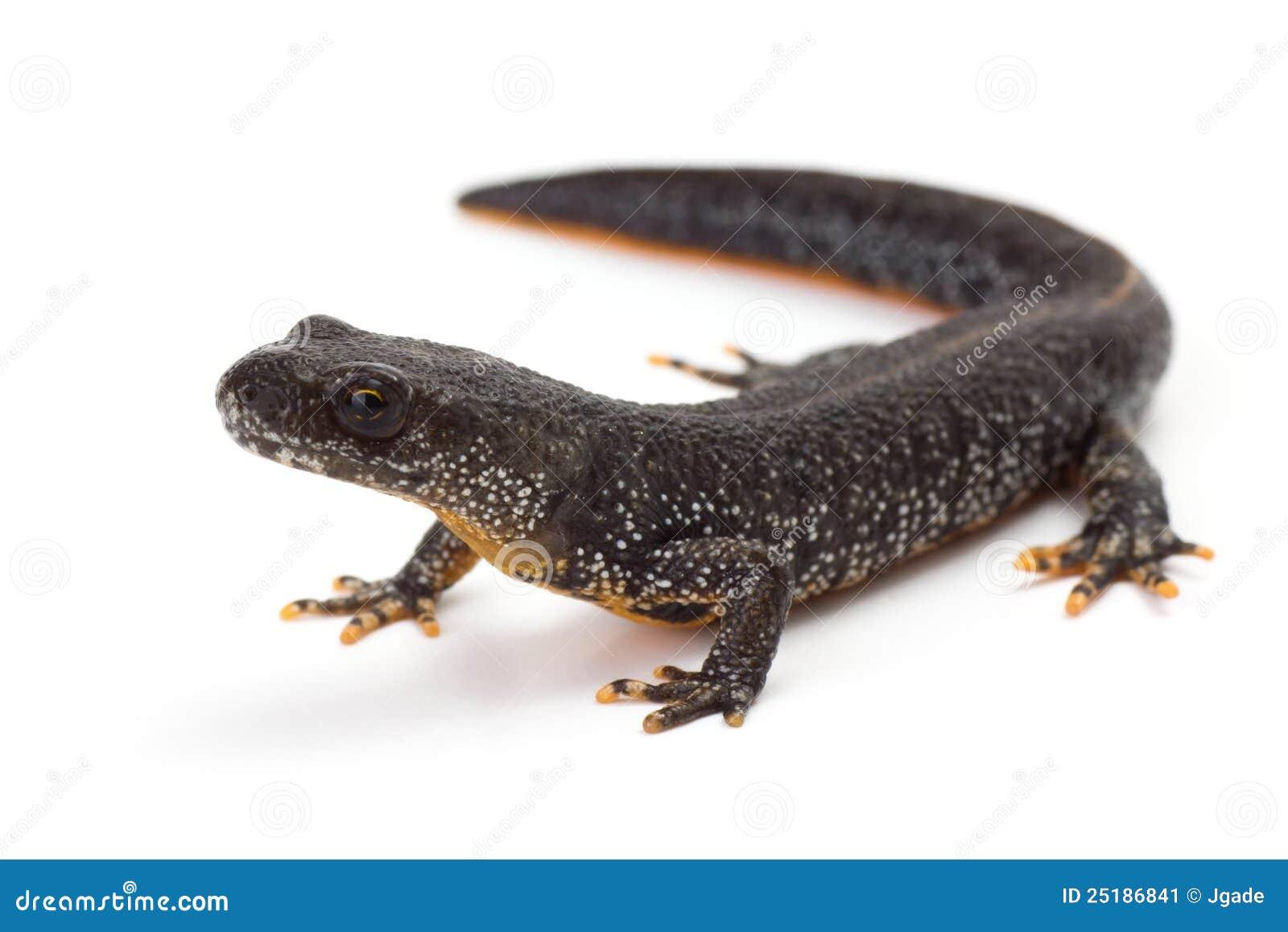 Grande Newt com crista