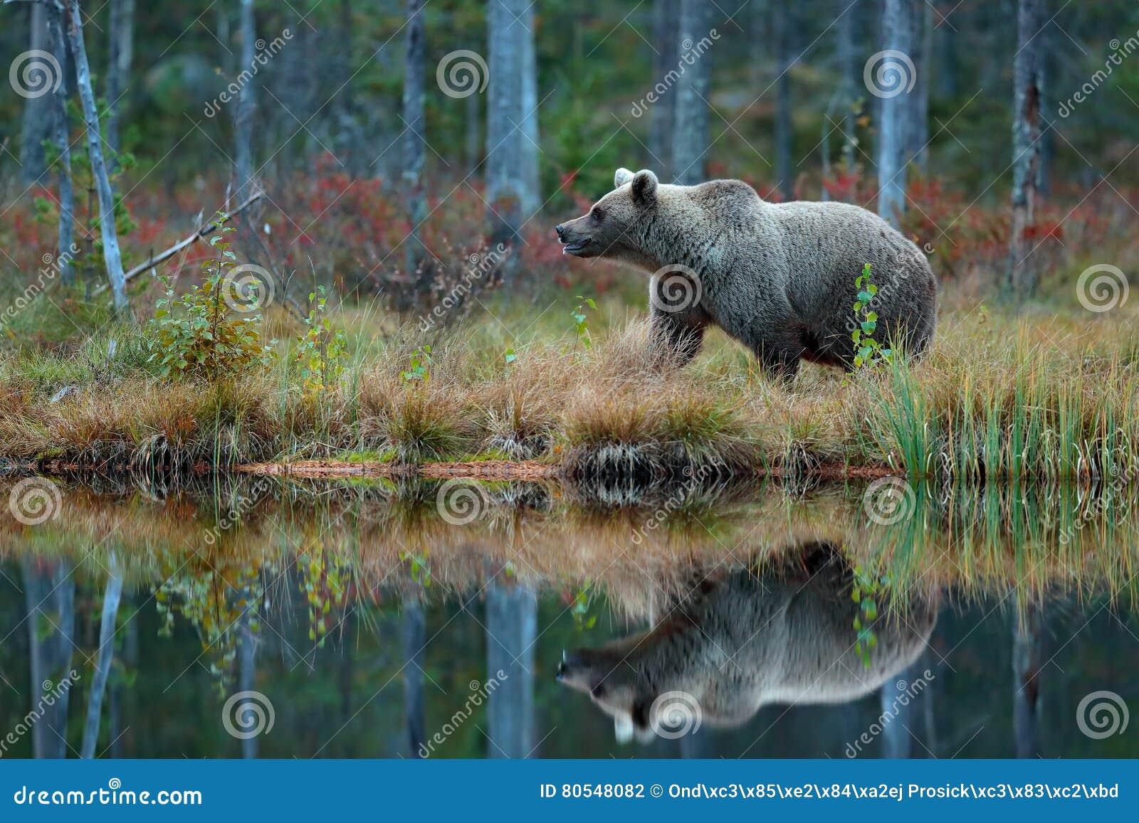Grande orso bruno che cammina intorno al sole del lago di for Affitti cabina grande lago orso