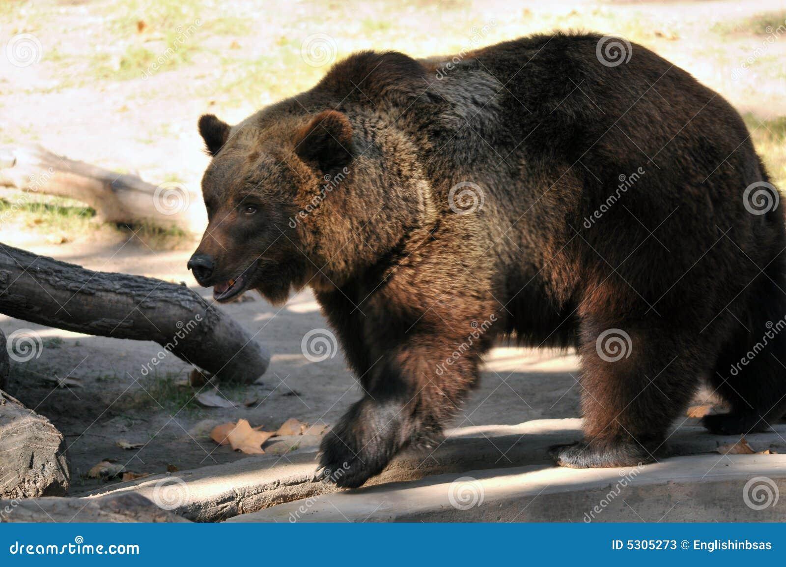 Download Grande orso di Brown immagine stock. Immagine di zoologia - 5305273