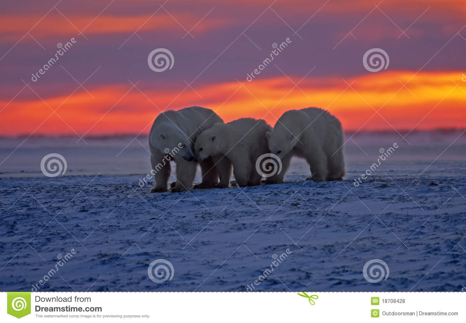 Grande orso polare maschio