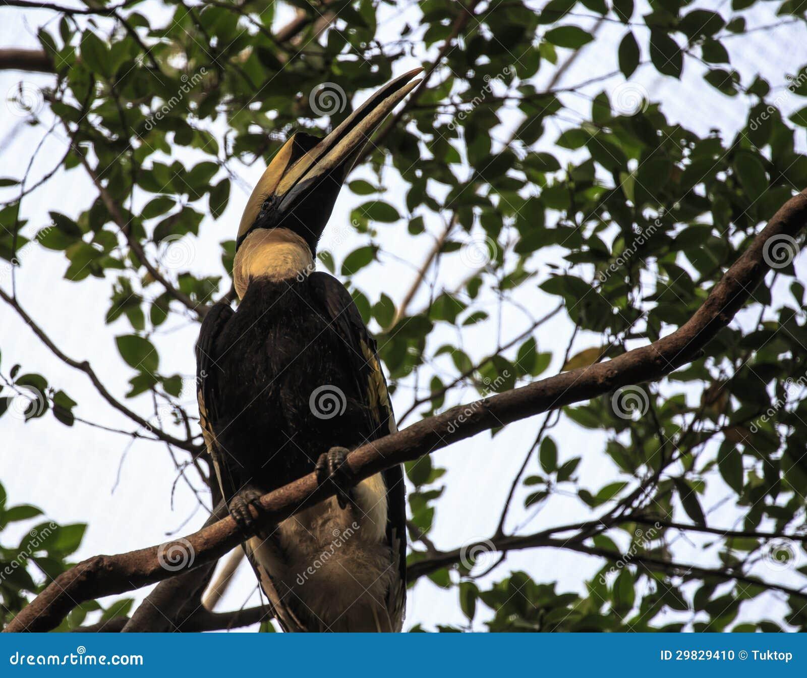 Grande pássaro da conta do chifre