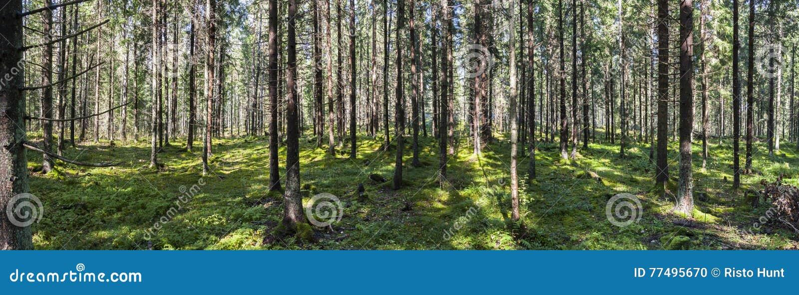 Grande panorama della foresta verde di estate
