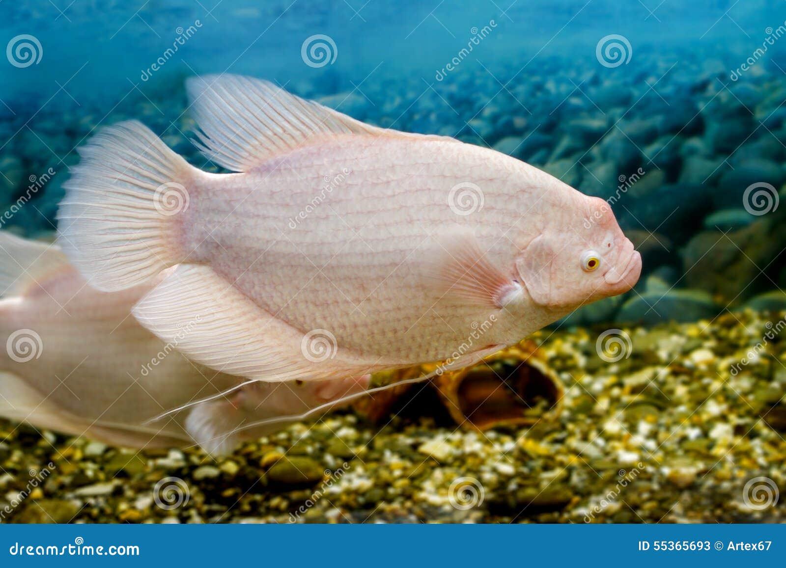 Grande pesce nel fishingl di gorami nero dell acquario