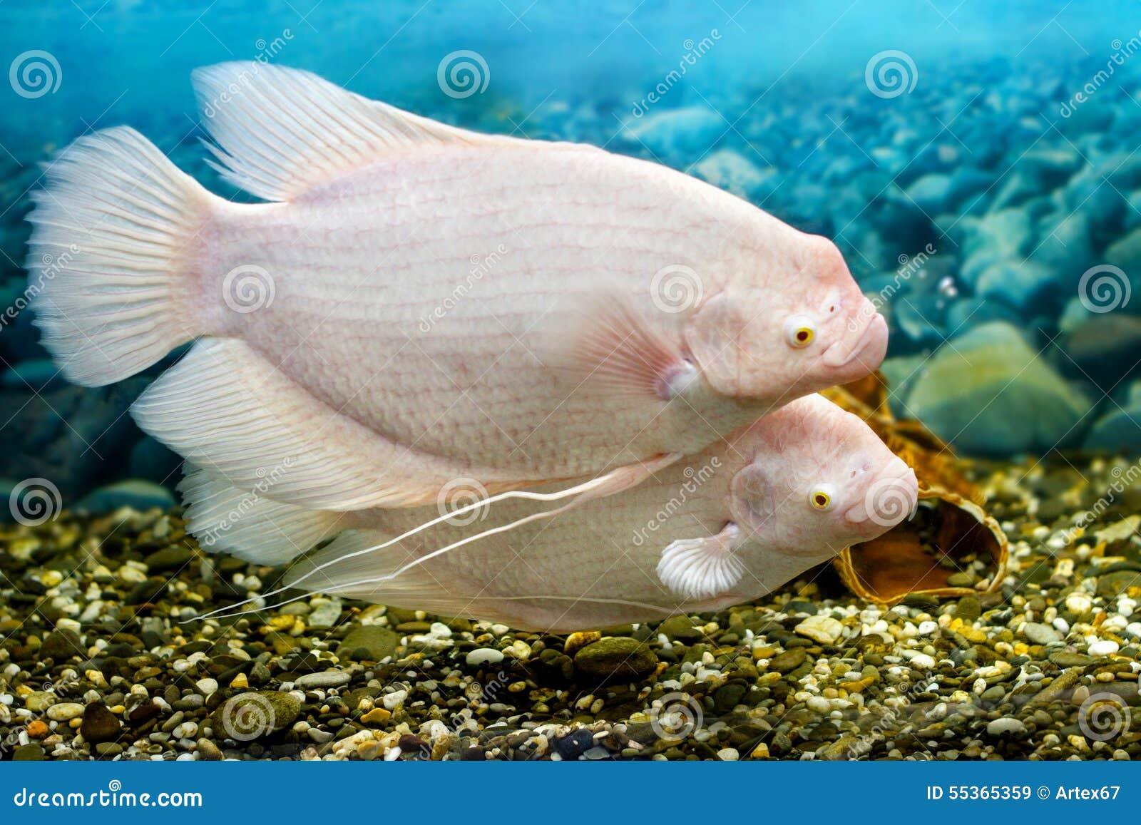 Grande pesce nella pesca di gorami nero dell acquario