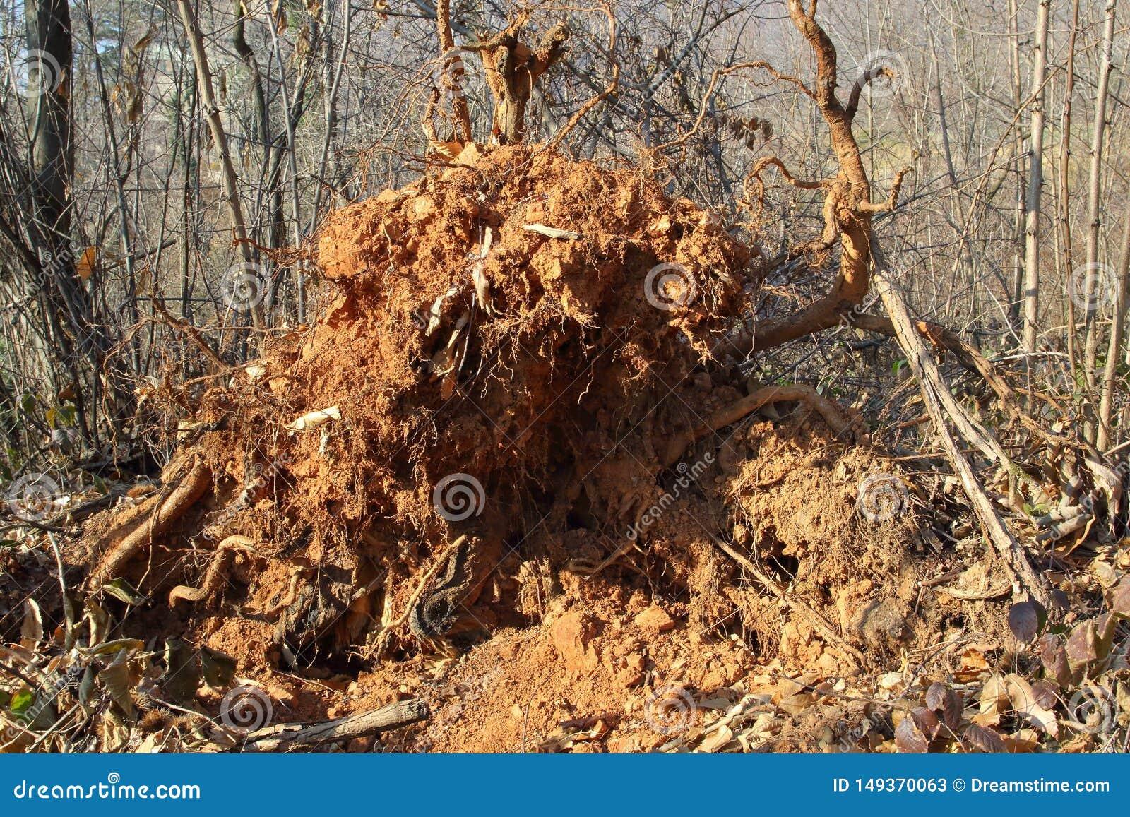 Grande pianta sradicata dal vento