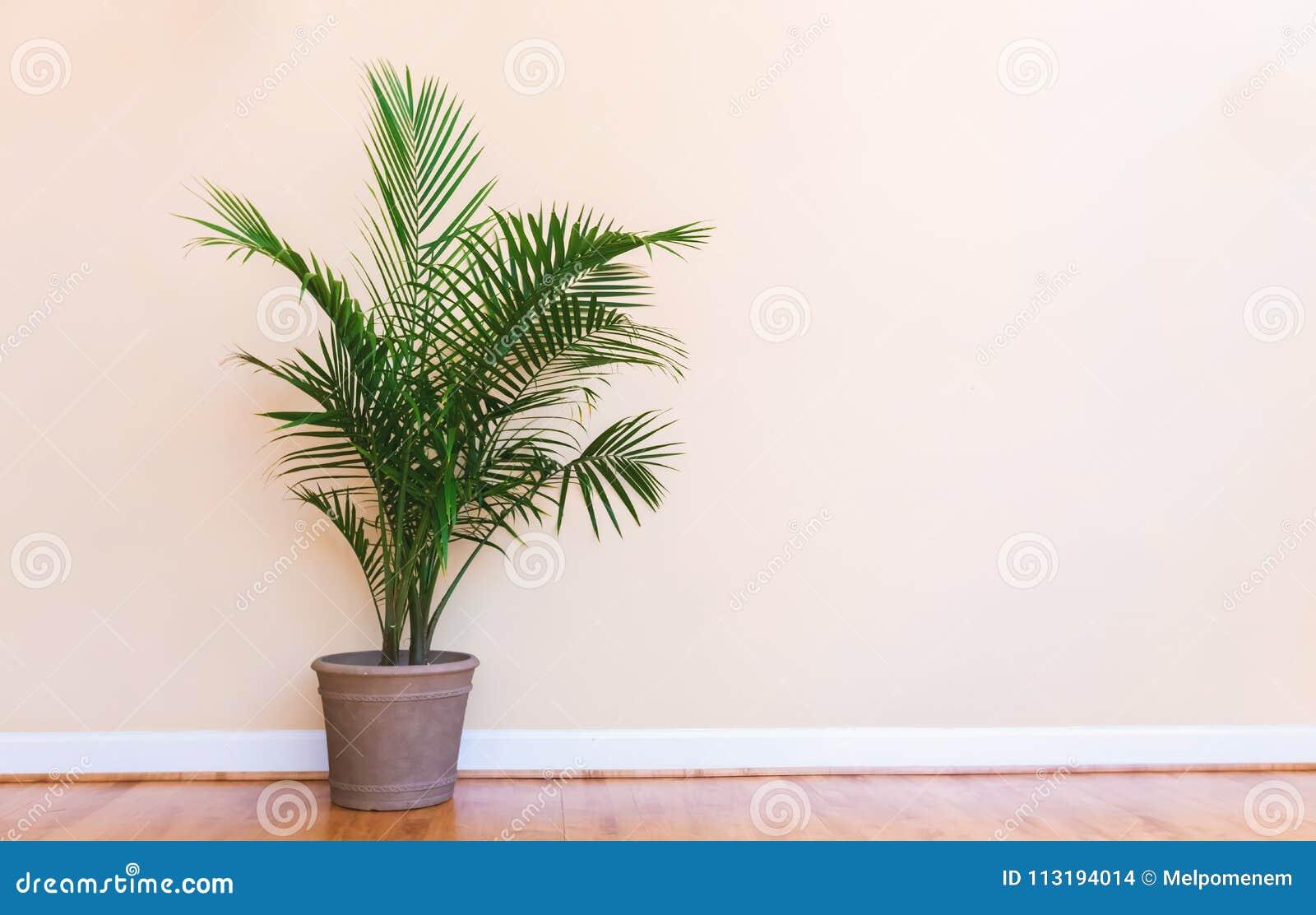Grande planta interna da palma em uma sala amarela