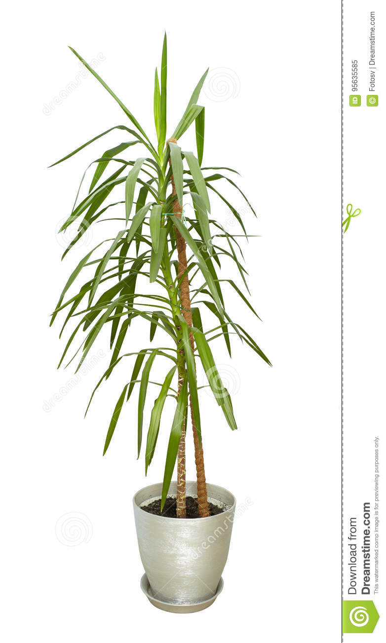 Grande Plante D 39 Int Rieur Arbre Grand Dans Un Pot Image Stock Image Du Potted Isolement