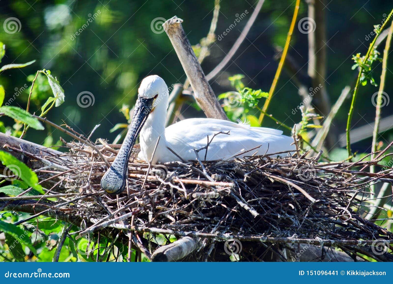 Grande Platalea bianco esotico dell uccello alba nel nido