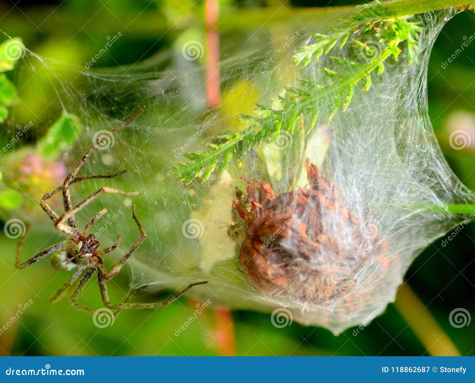 Grande ragno e web sulle foglie