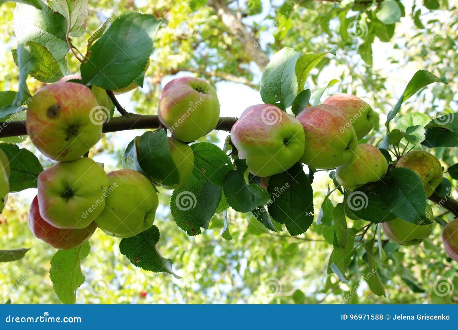 Grande ramo da árvore de maçã com muitas maçãs verdes