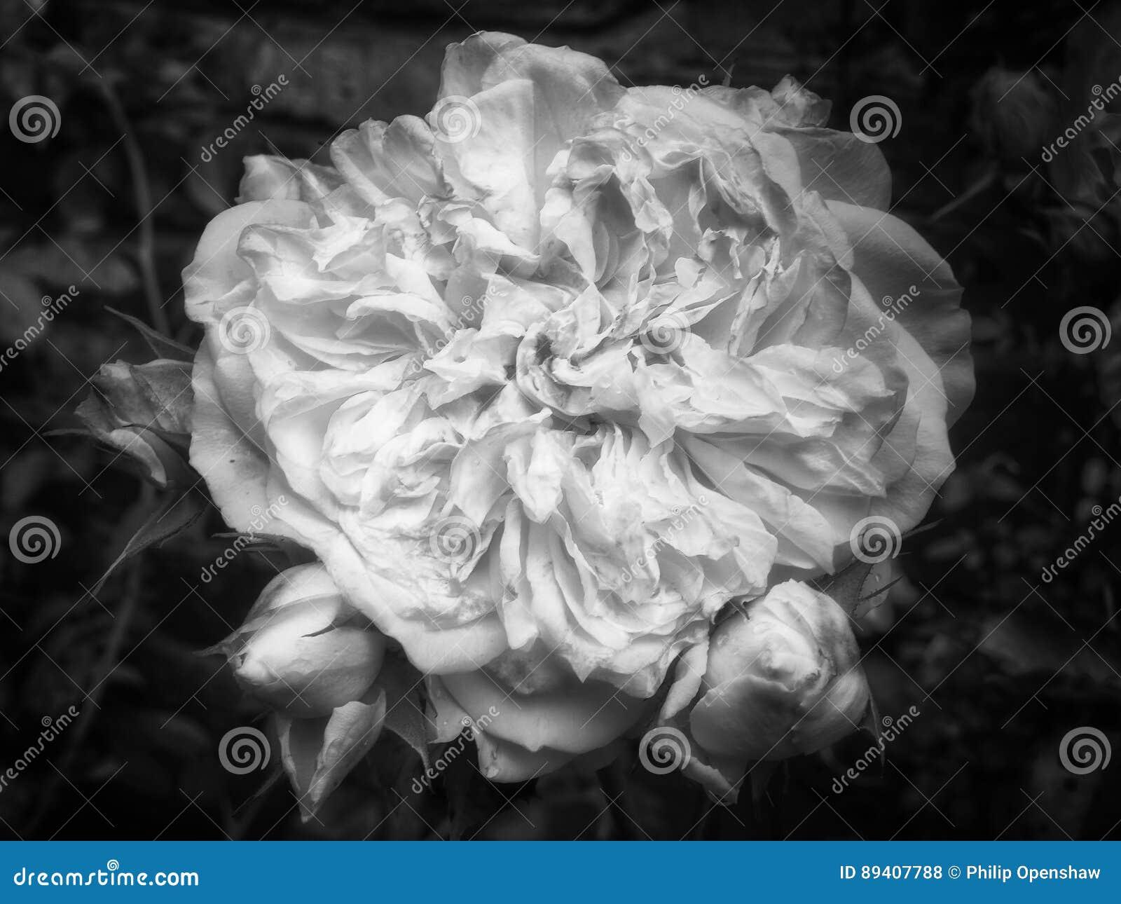 Grande rosa do branco do desvanecimento