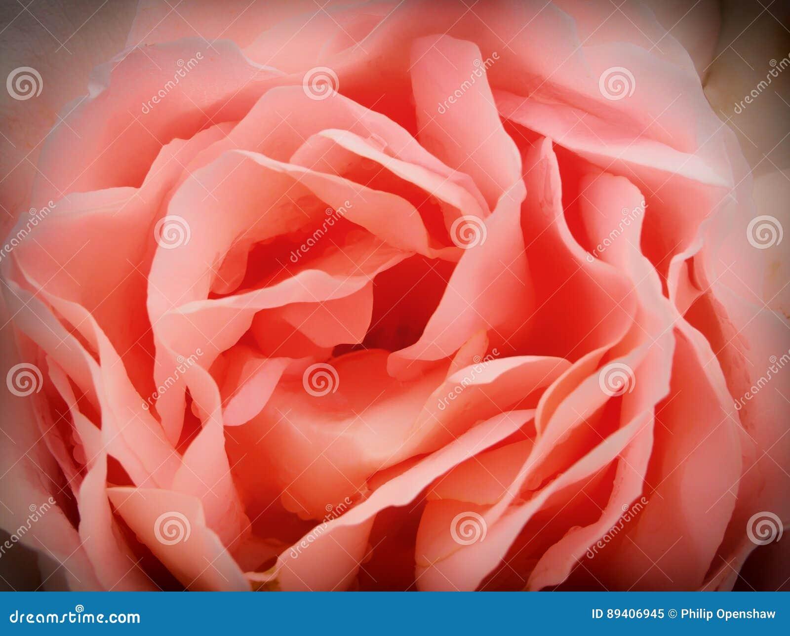 Grande rosa do rosa no close up