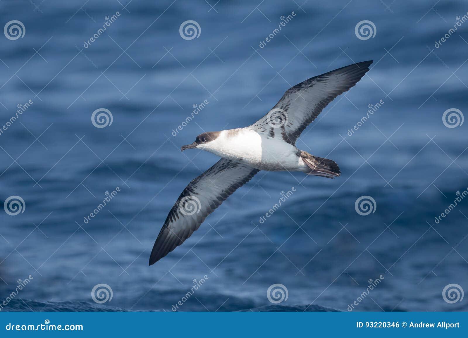 Grande Shearwater em voo sobre um mar azul