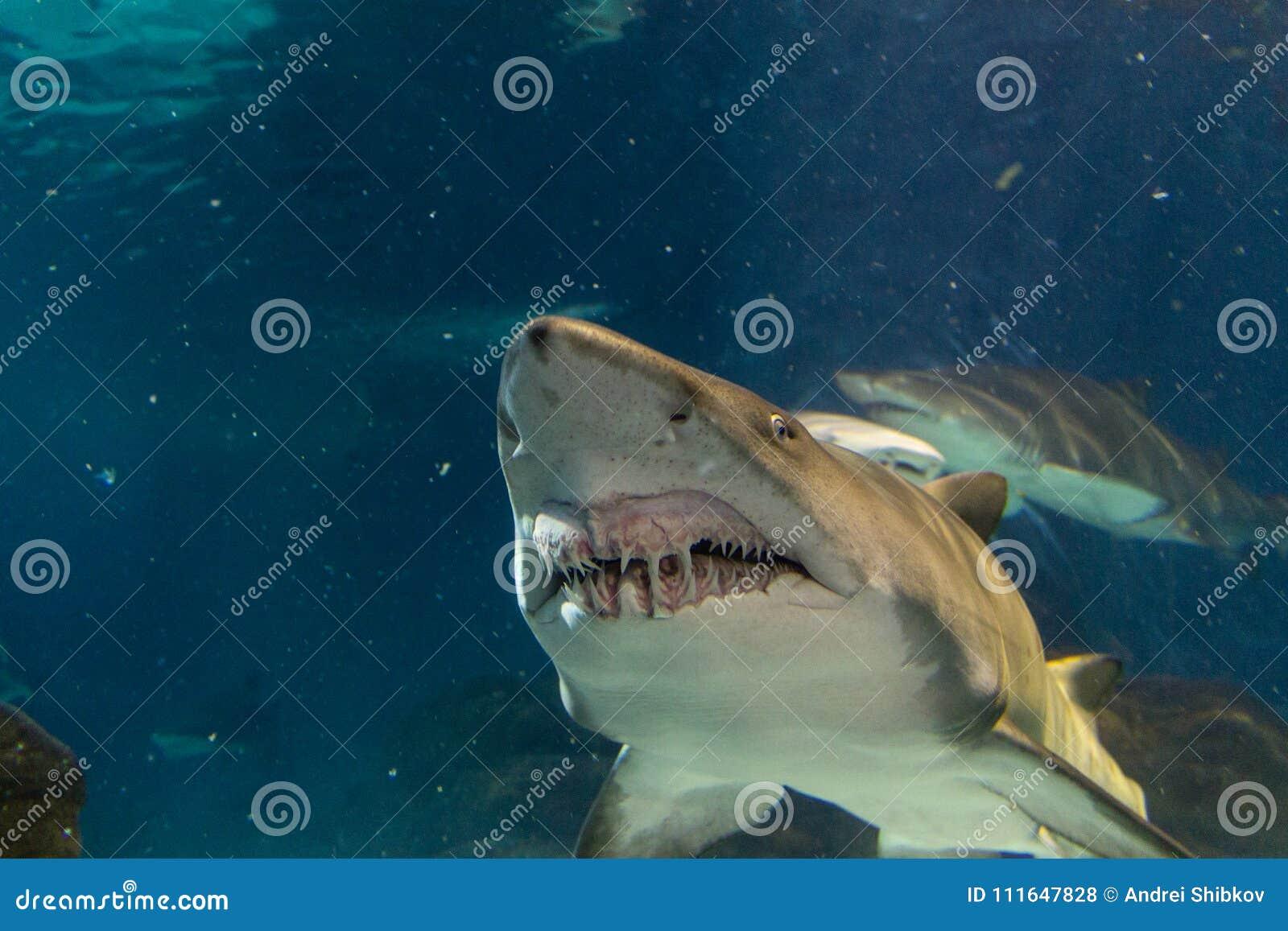 Grande squalo bianco dalla vista frontale
