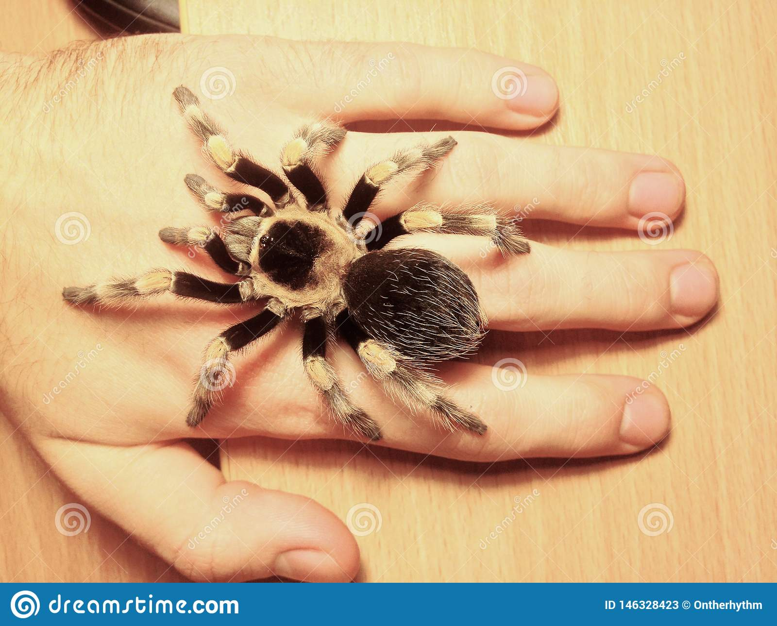 Grande tarentule d araignée à disposition, smithi de brachypelma