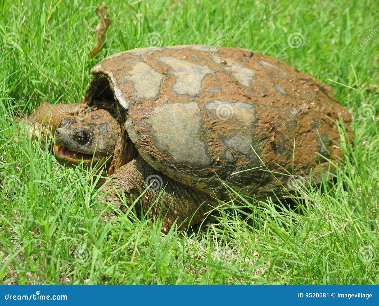 Grande tartaruga di schiocco comune con la bocca aperta